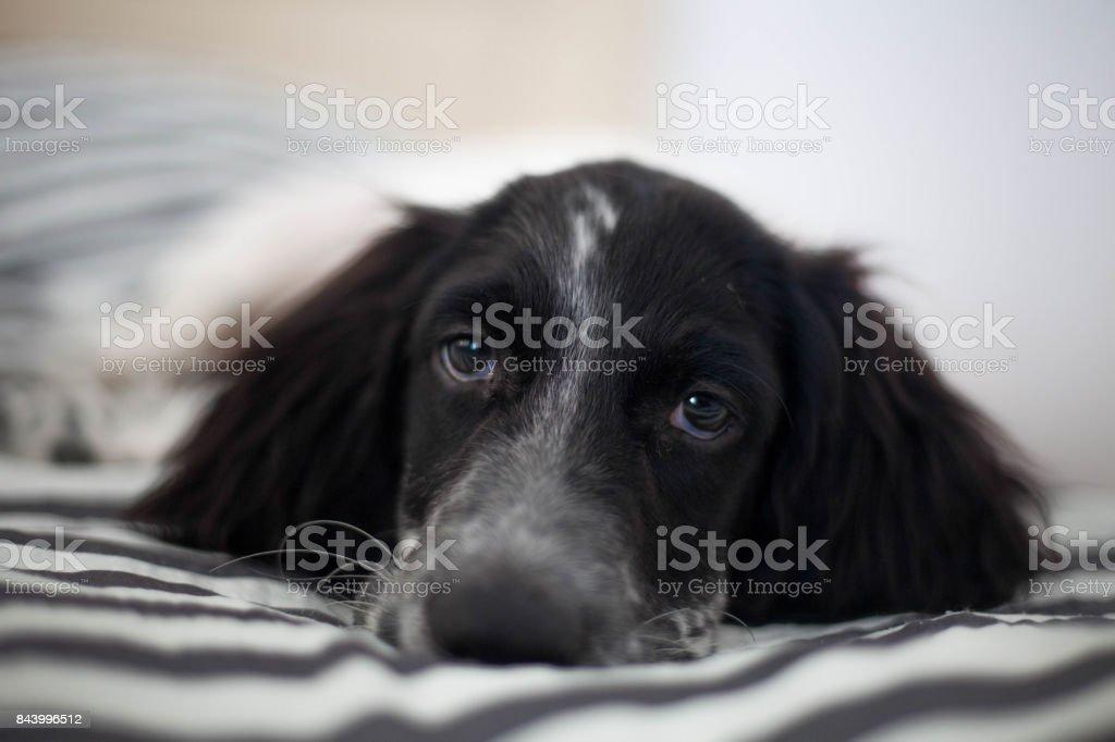 Cute puppy looking at camera stock photo