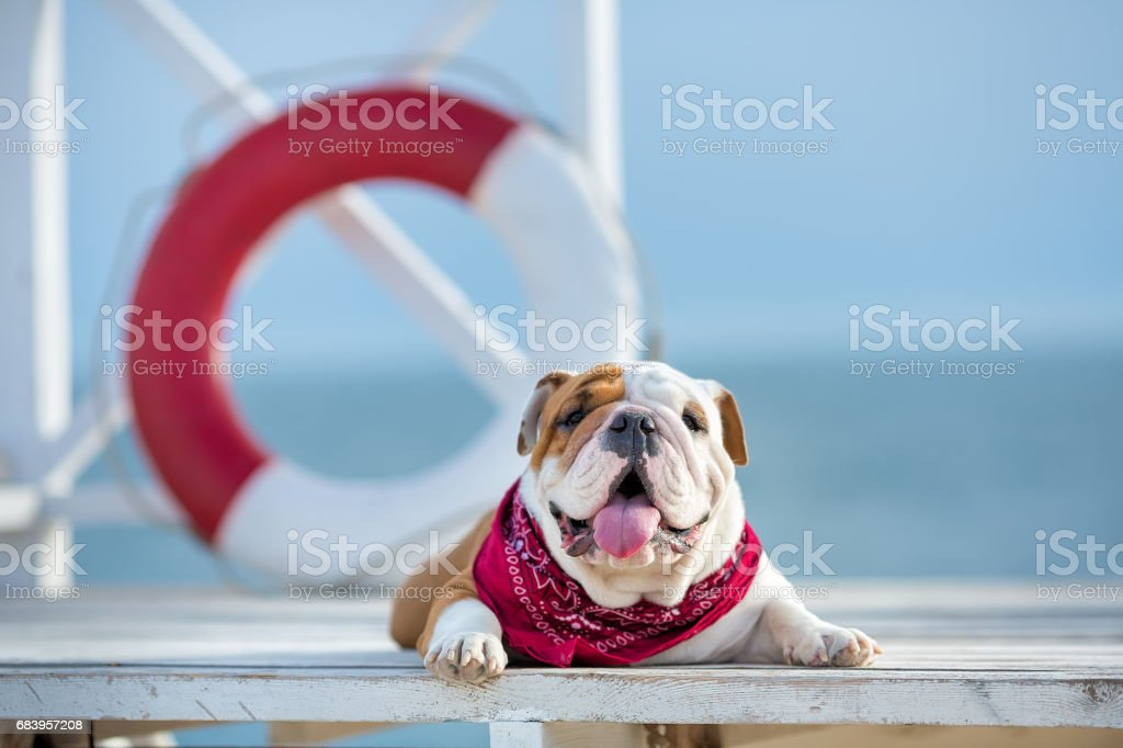 Cute puppy of english bull dog with funny face and red bandana on neck close to life saving bouy round floater stock photo