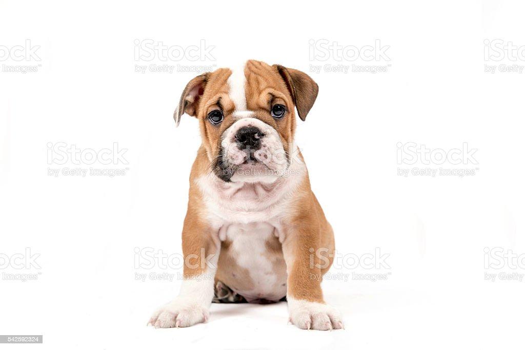 Cute puppy of English Bulldog stock photo