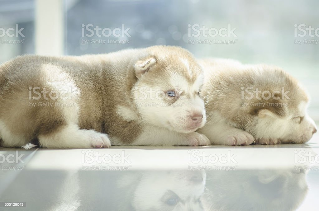 Cute puppy siberian husky  looking stock photo
