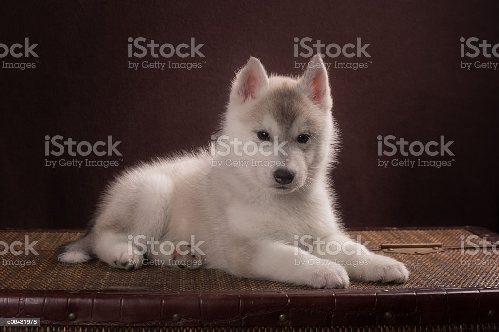 Cute Puppy Siberian Husky stock photo