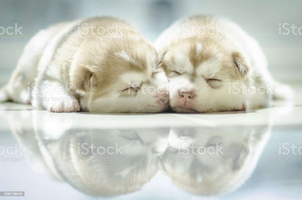 Cute puppy siberian husky  sleeping stock photo