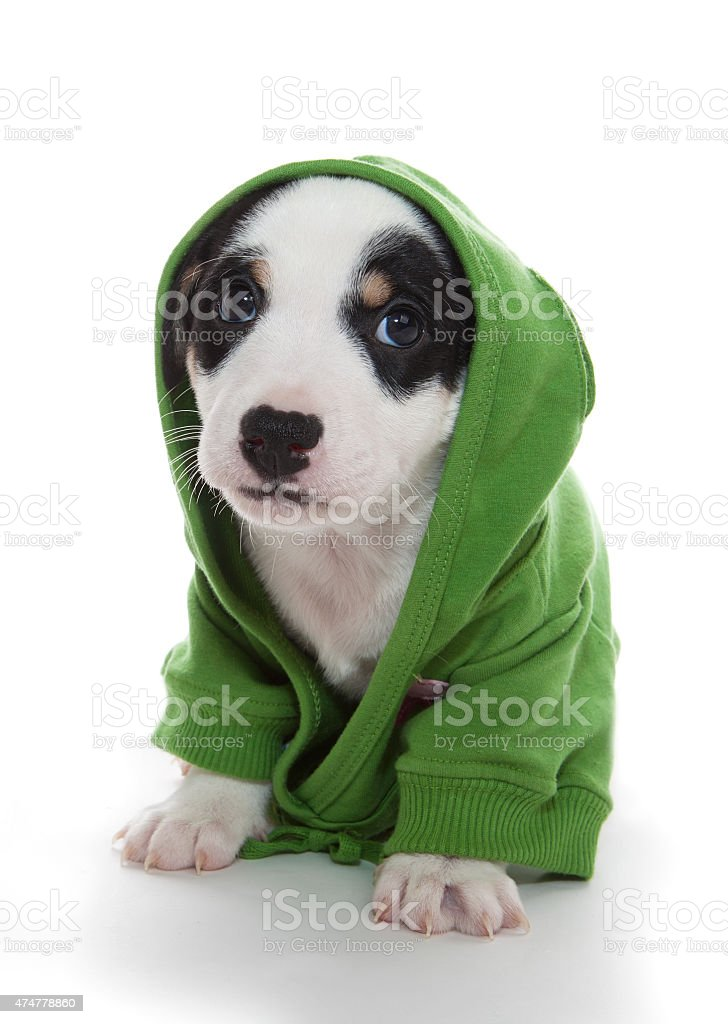 cute puppy T-shirt hooded stock photo