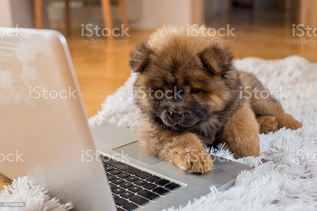 Cute puppy watching something on laptop. stock photo