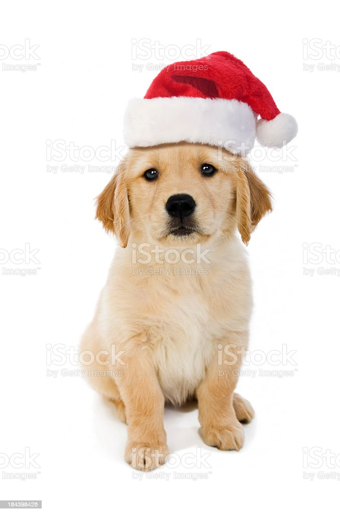 Cute puppy wearing a Santa hat, white background stock photo