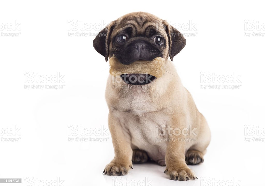 Cute puppy with a bone stock photo