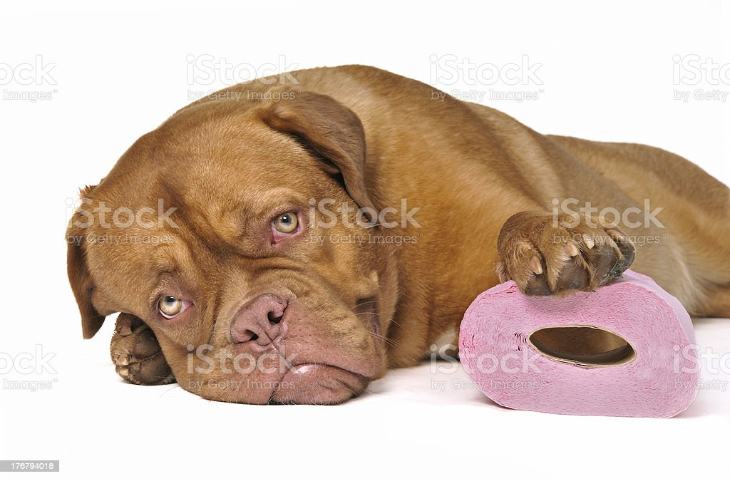 Cute Puppy with a roll of Toilet Paper stock photo