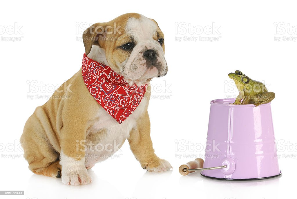cute puppy with bullfrog royalty-free stock photo