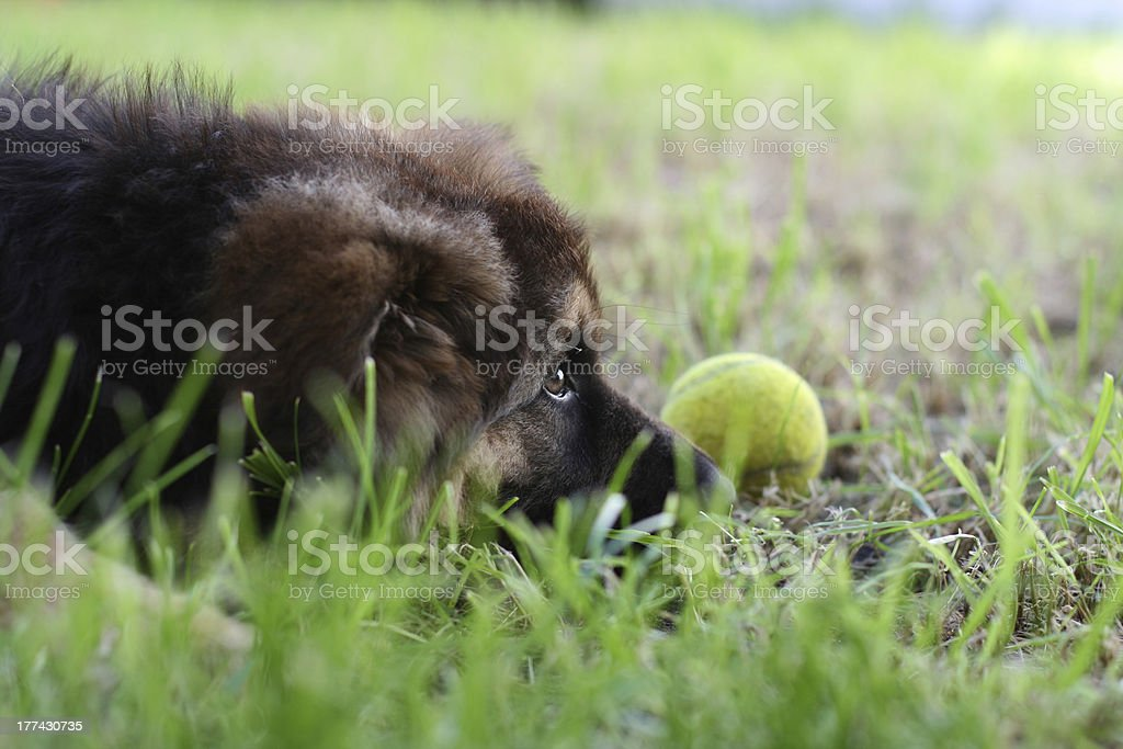 Cute Puppy with Tennis Ball royalty-free stock photo