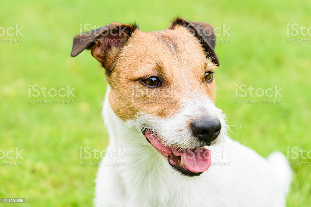 Cute purebred Jack Russell Terrier dog headshot portrait stock photo