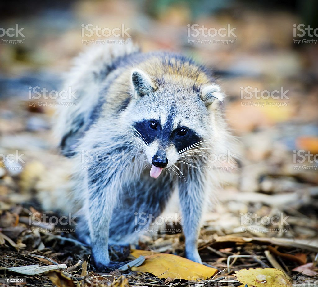 Cute Raccoon with tongue out royalty-free stock photo