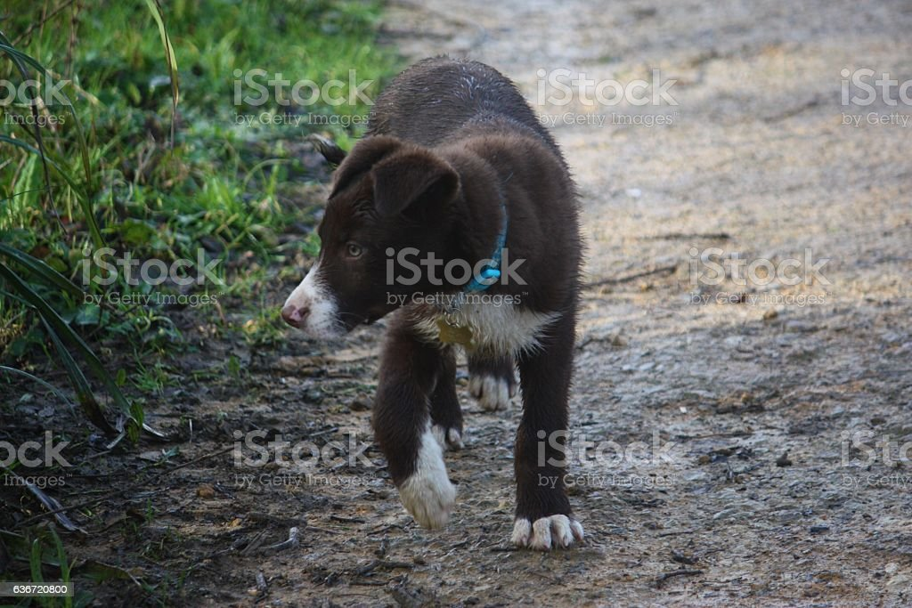 Cute red and white border collie puppy dog pet stock photo