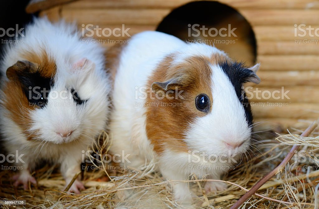 Cute Red and White Guinea Pig Close-up. Pet in stock photo