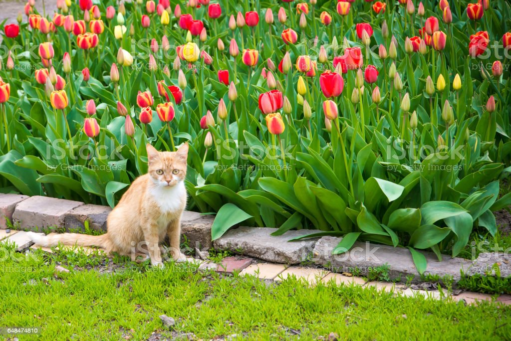 Cute red cat on tulips background. Beautiful view of red, yellow tulips under sunlight landscape at the middle of spring or summer. stock photo
