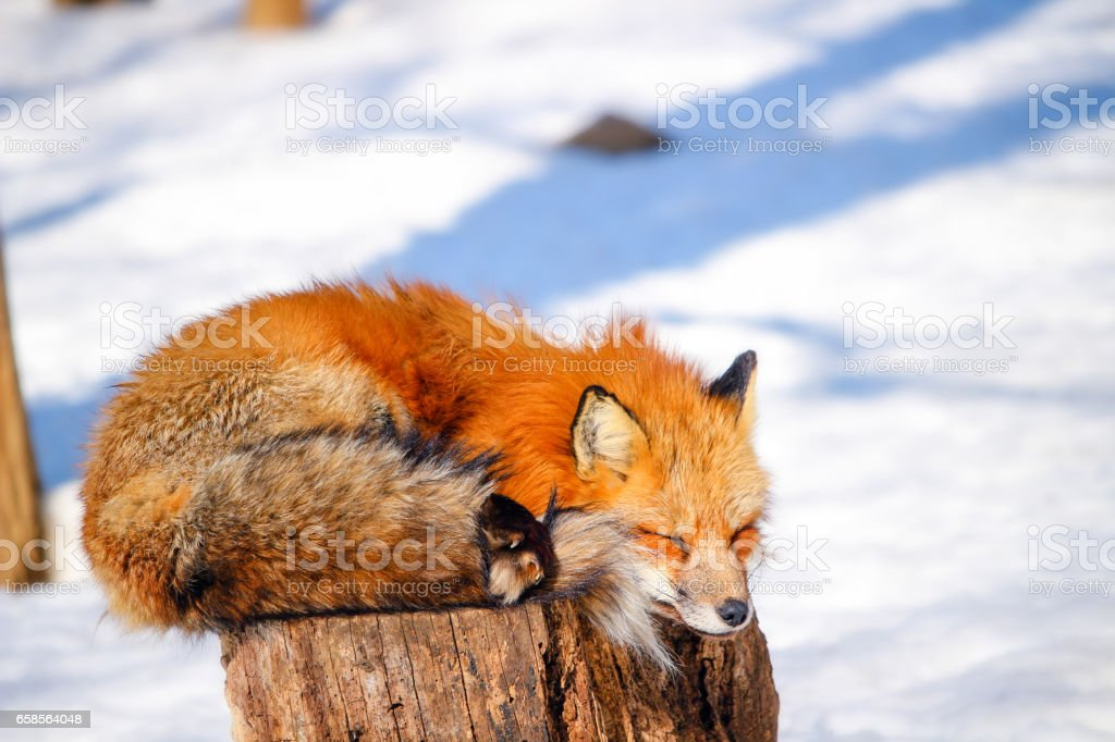 cute red fox in winter snow stock photo
