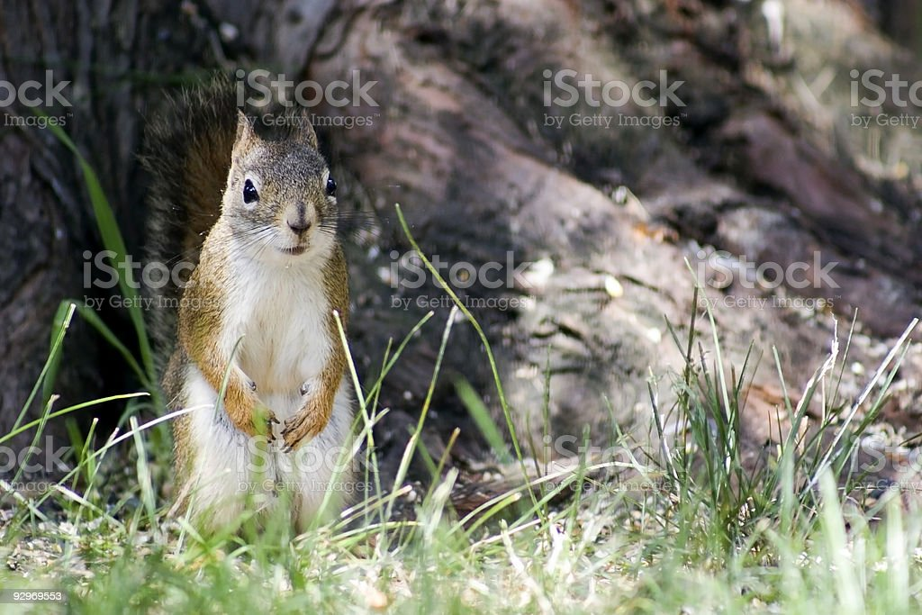Cute red squirrel. stock photo