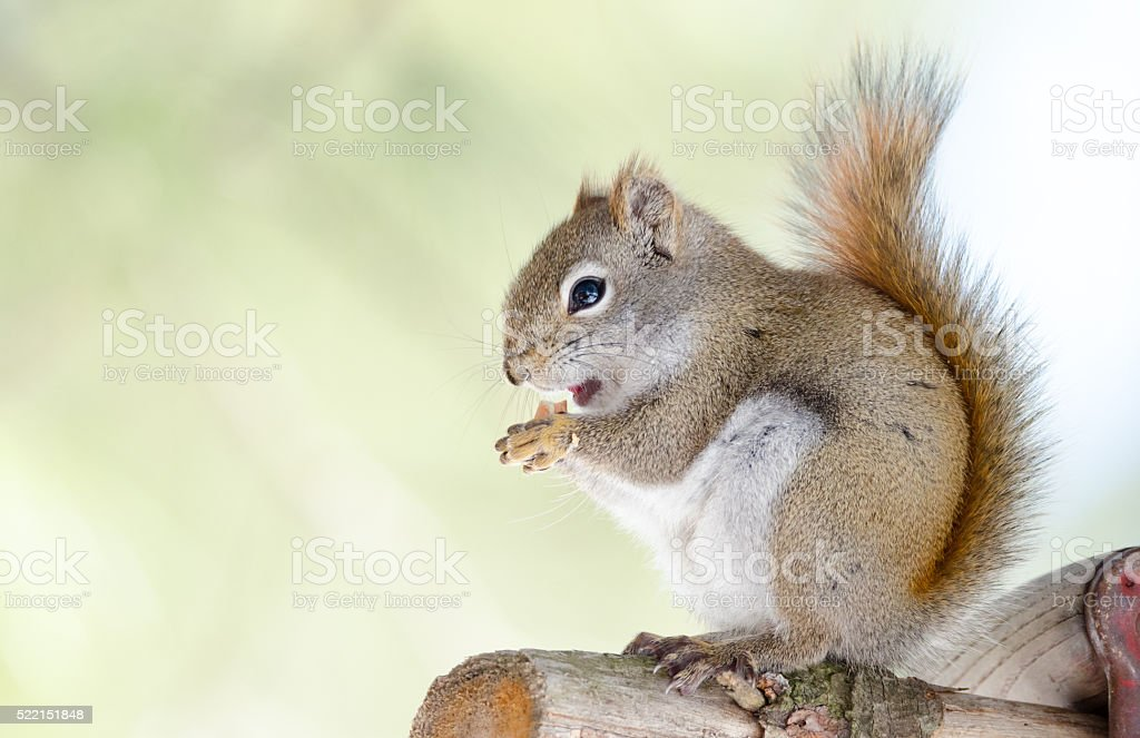 Cute Red squirrel, quick little woodland creature. stock photo