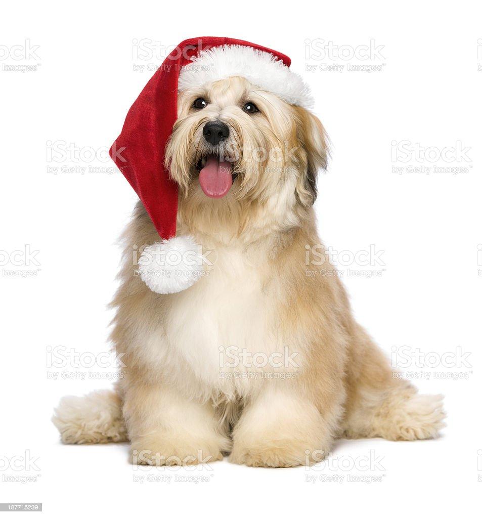 Cute reddish Christmas Havanese puppy dog with a Santa hat stock photo
