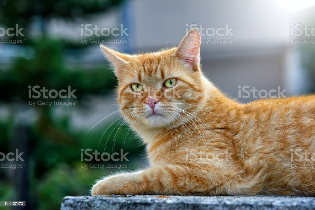 cute redhaired kitty portrait stock photo