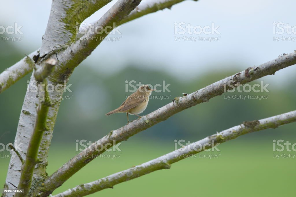cute reed warbler perching on tree branch stock photo