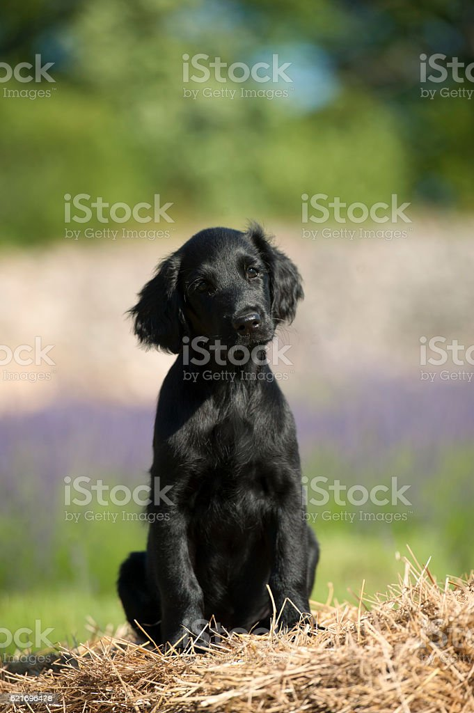 Cute retriever puppy in the country stock photo