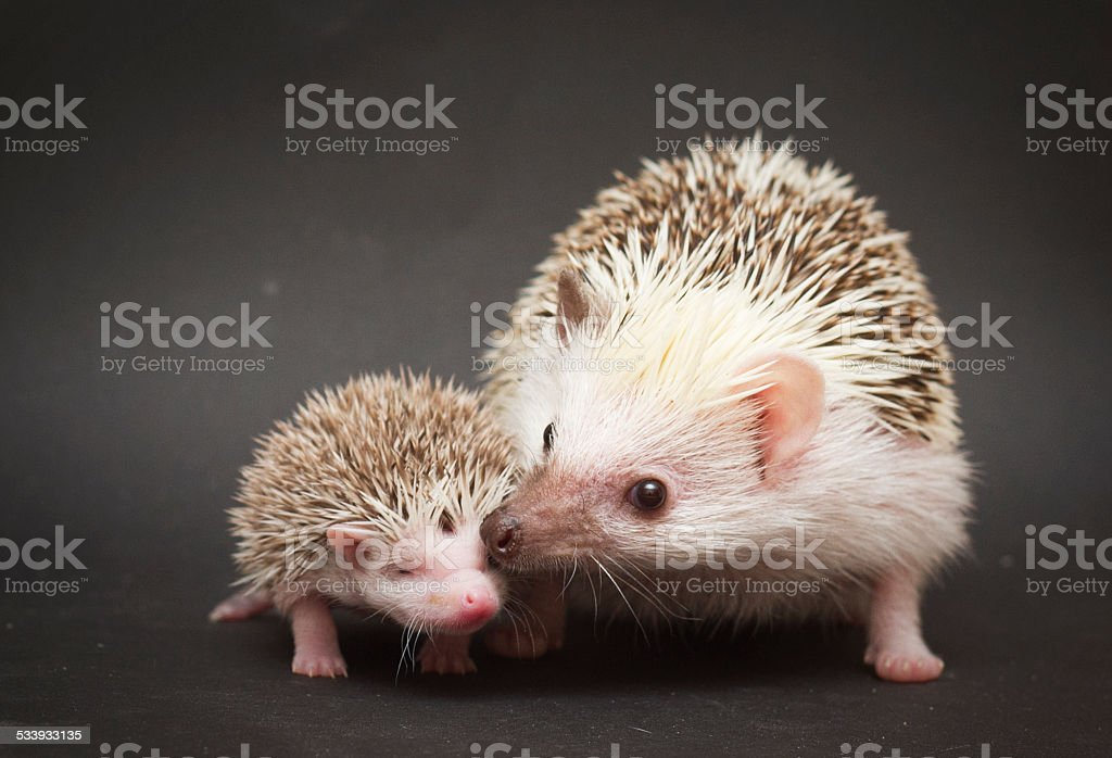 cute rodent hedgehog love with baby stock photo