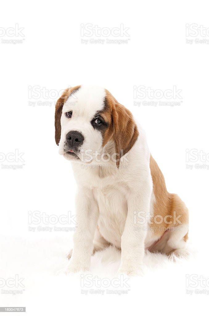 Cute Saint Bernard Puppy Isolated On White royalty-free stock photo