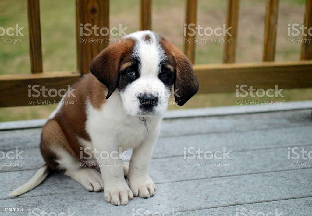 Cute Saint Bernard Puppy New Family Friend stock photo