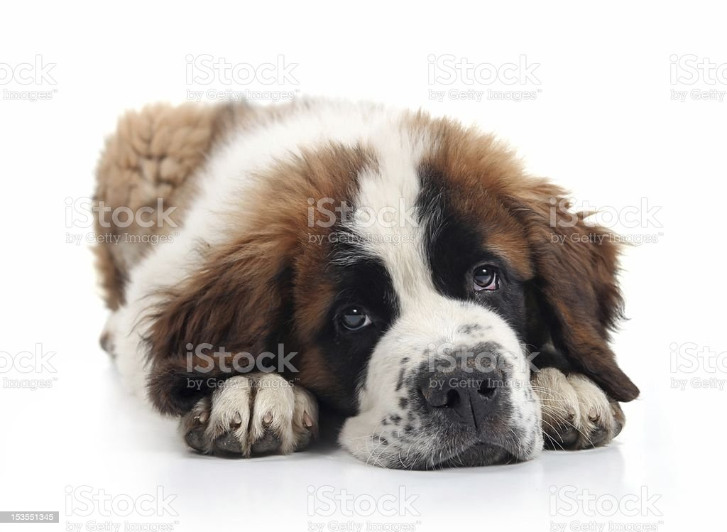 Cute Saint Bernard Puppy stock photo