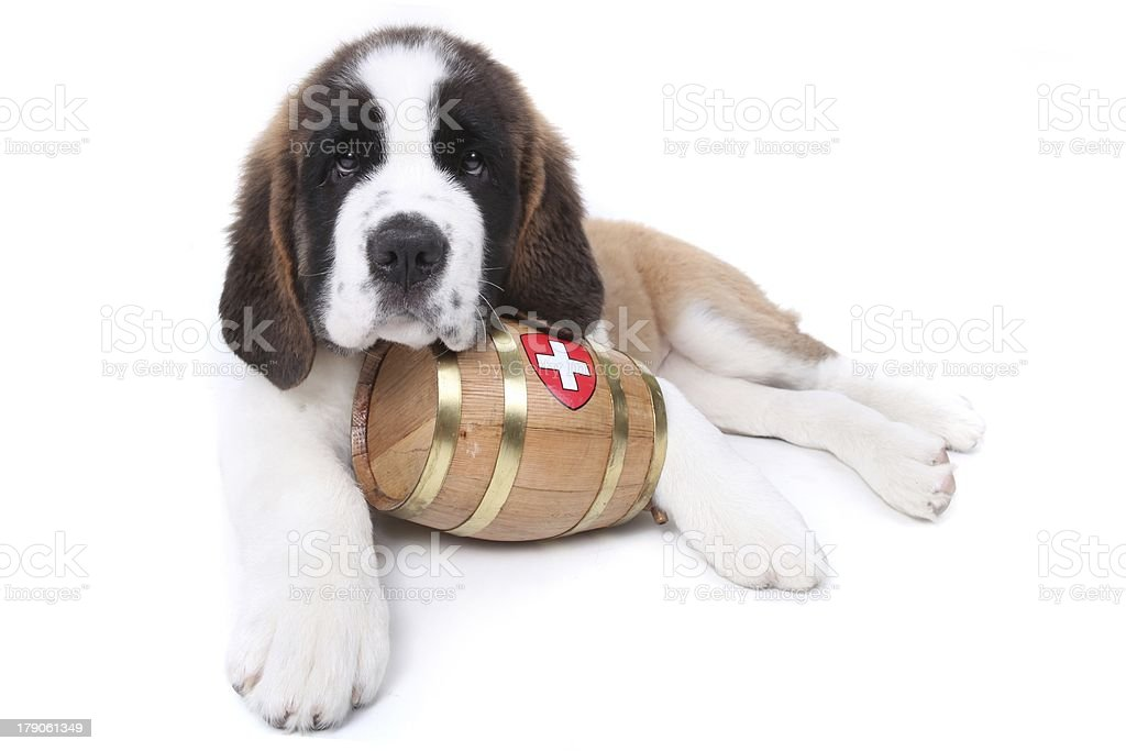 Cute Saint Bernard puppy with a rescue barrel around stock photo