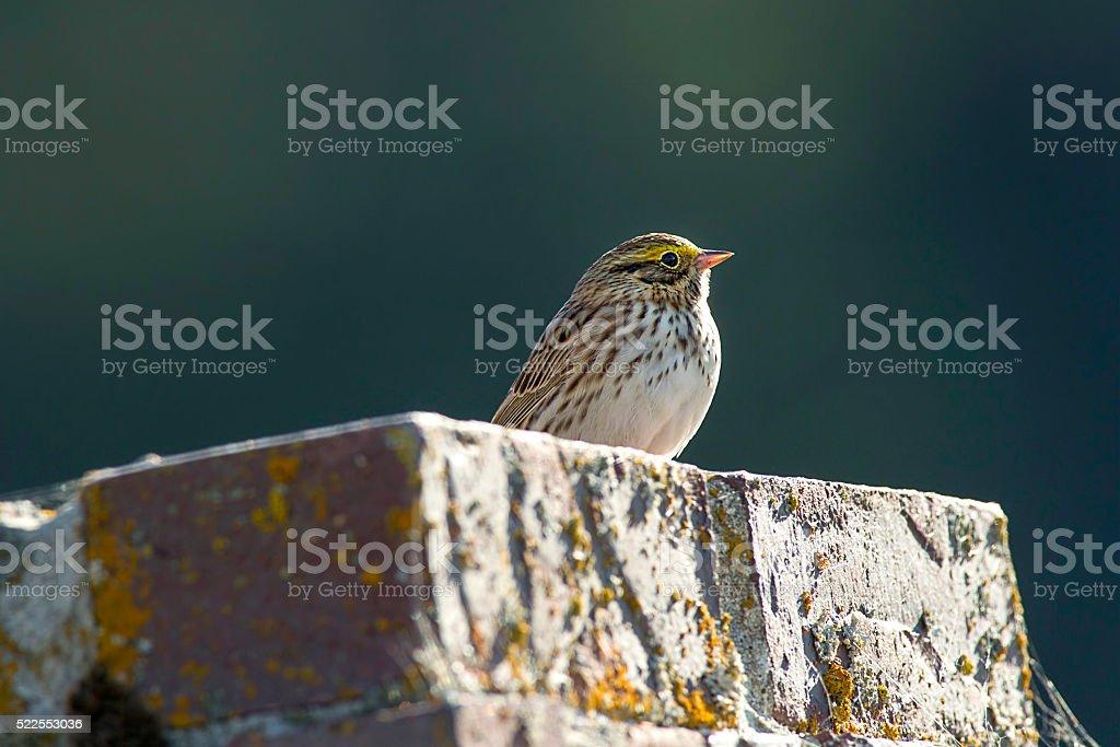 Cute savannah sparrow. stock photo