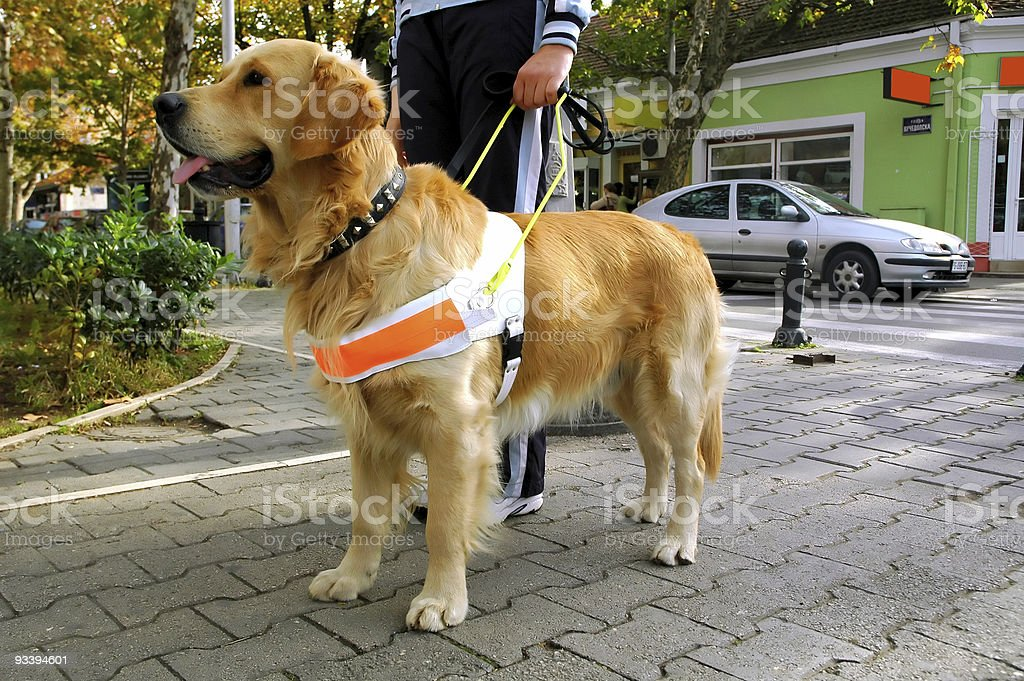 A cute seeing eye dog guiding a person outside stock photo