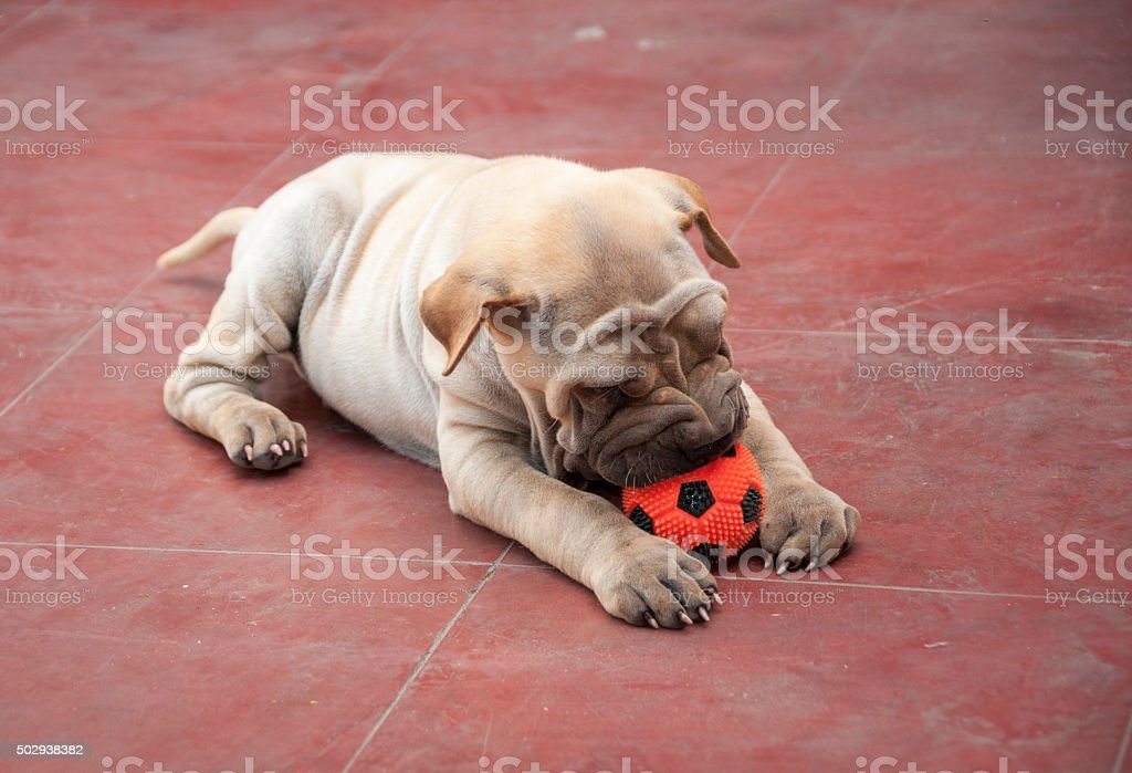 Cute Shar Pei Puppy Playing With A Ball stock photo
