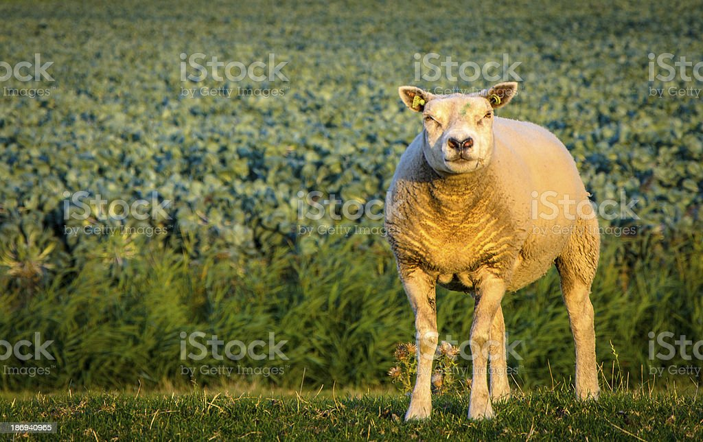 Cute sheep looking at the camera royalty-free stock photo