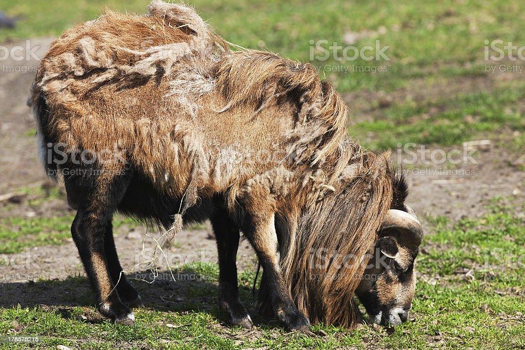 cute sheep royalty-free stock photo