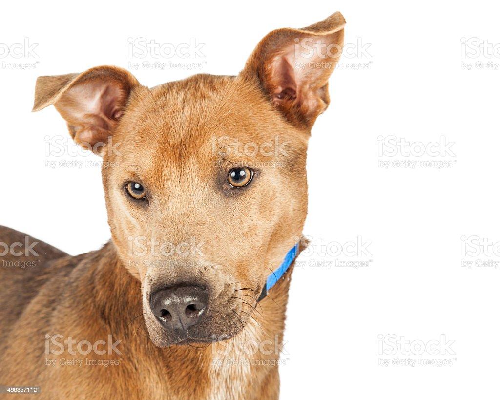 Cute Shepherd Mixed Breed Dog Closeup stock photo