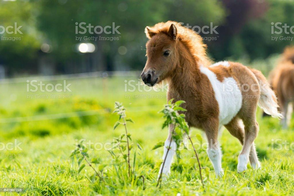 Cute shetland foal walking through the meadow stock photo