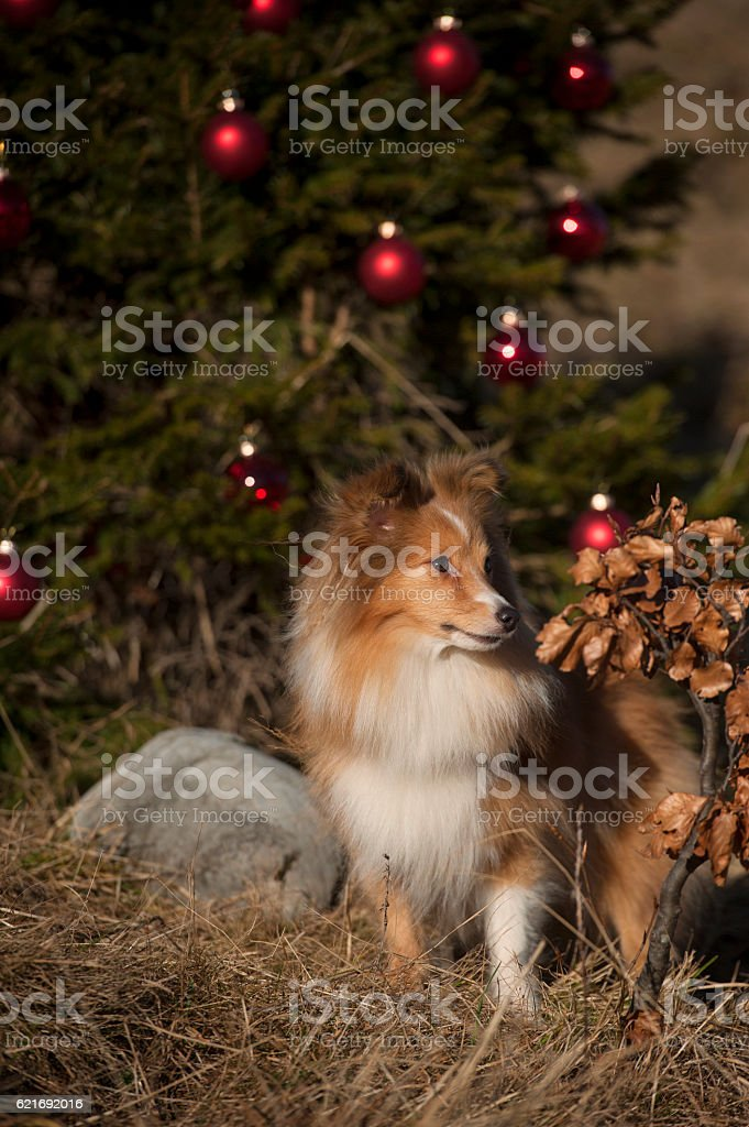 Cute Shetland Sheepdog by Christmas tree with red ornament stock photo