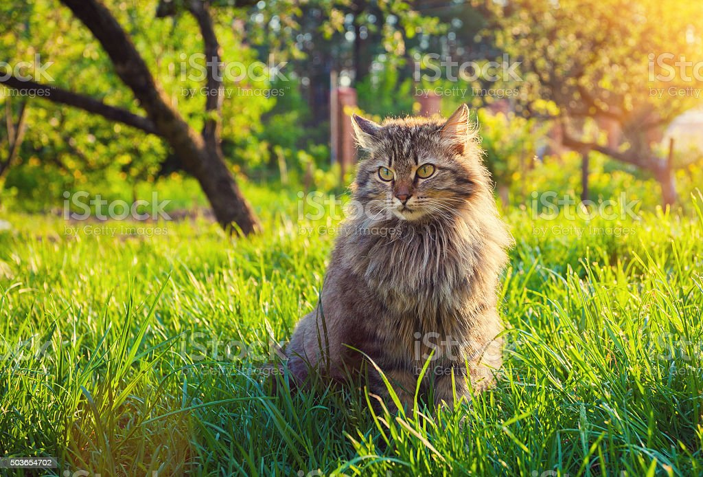 Cute siberian cat relaxing on the grass stock photo