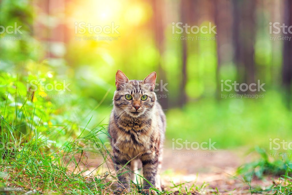 Cute siberian cat walking in the forest stock photo