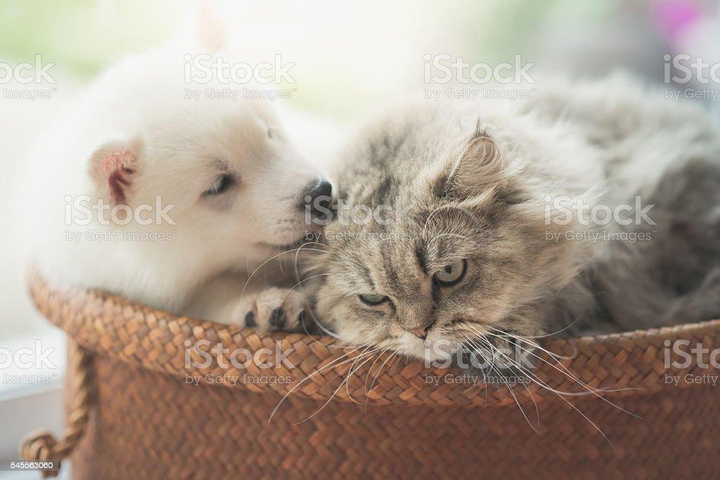 Cute siberian husky and persian cat lying stock photo