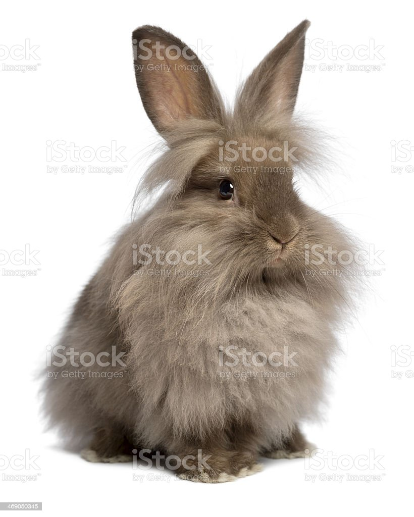 Cute sitting chocolate lionhead bunny rabbit stock photo