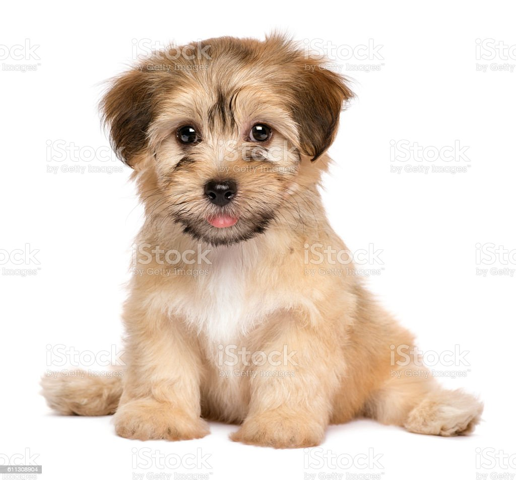 Cute sitting havanese puppy dog stock photo
