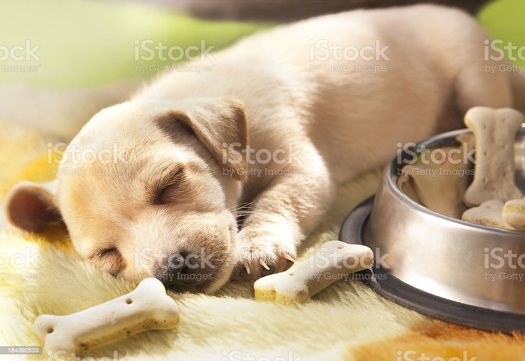 Cute sleeping puppy royalty-free stock photo