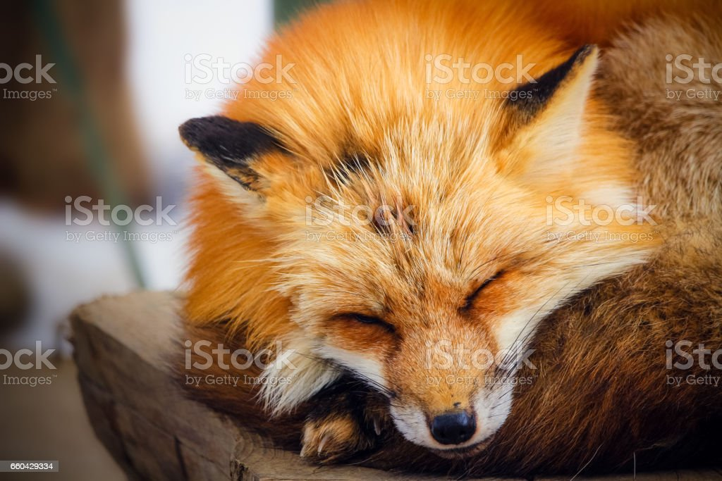 cute sleeping red fox in winter stock photo