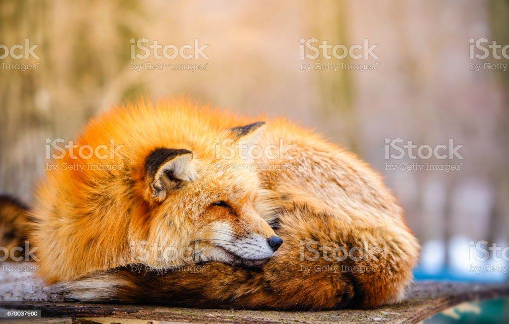cute sleepy red fox in winter stock photo