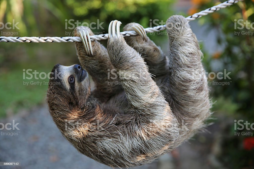 Cute Sloth Climbing On Rope stock photo