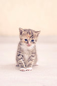 Cute small cat with blue eyes.
