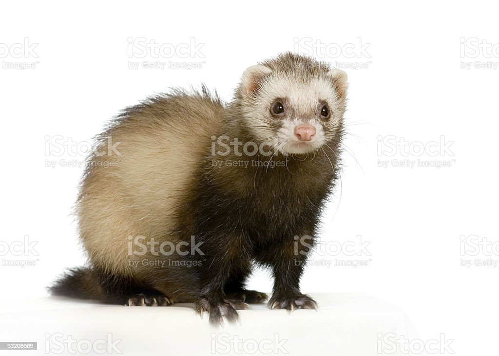 Cute small ferret on white floor and white background stock photo