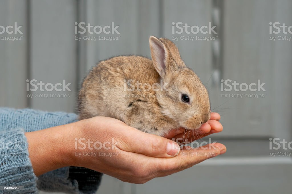 Cute small grey bunny sits in hands. stock photo